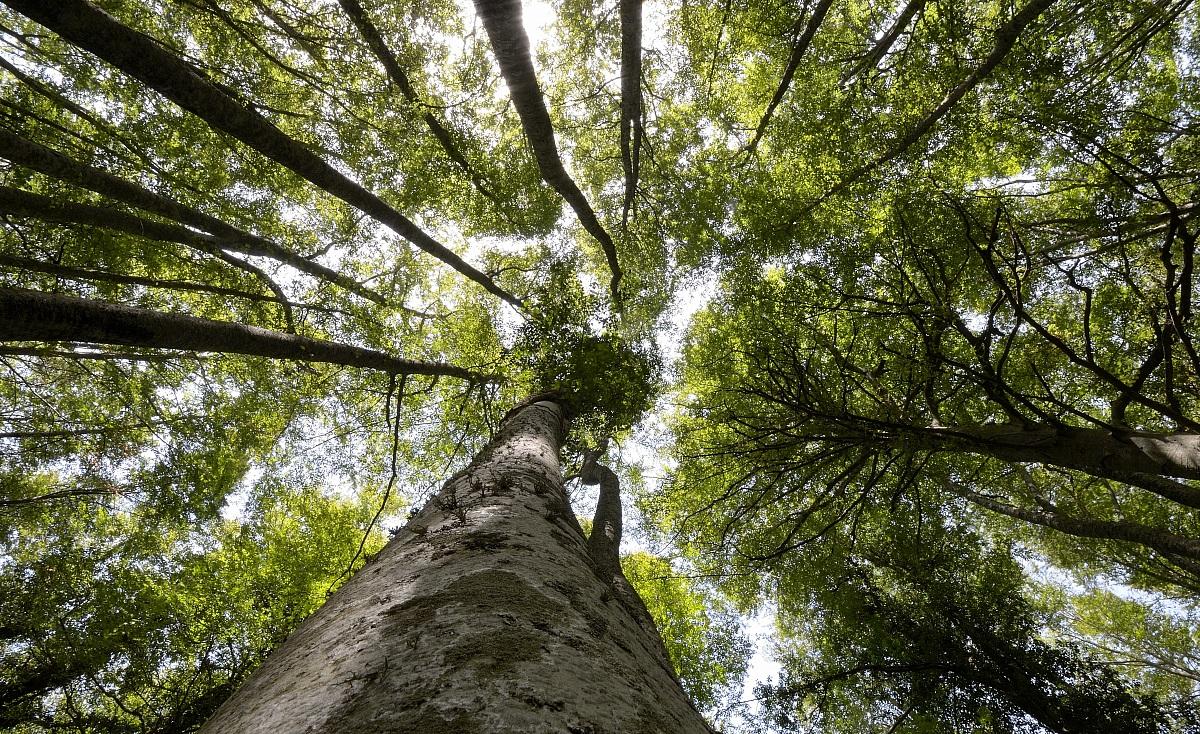 Foresta umbra pro loco vieste for Pianta della foresta di pioppo